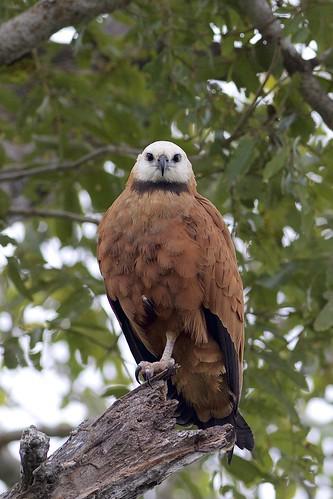 Black-collared Hawk (Busarellus nigricollis), Pousada Rio Claro, Mato Grosso, Brazil