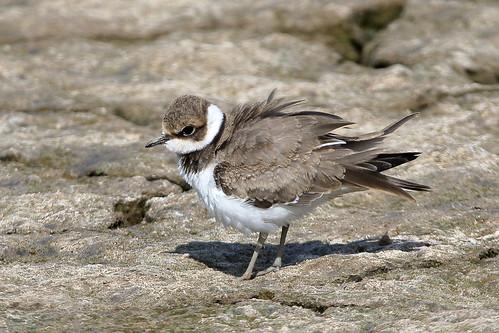 Little Ringed Plover (Charadrius dubius) - juvenile
