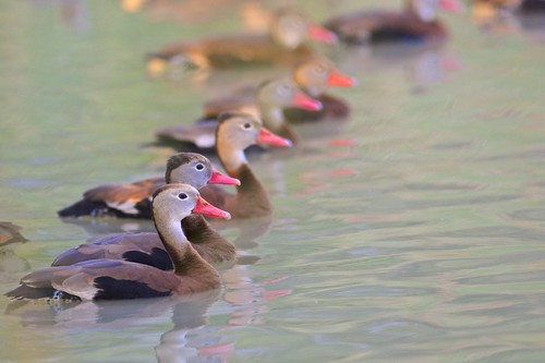 Black-bellied Whistling-Duck (Dendrocygna autumnalis), Brownsville, Texas