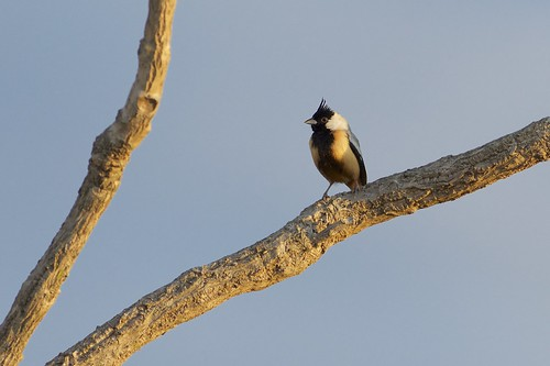 Coal-crested Finch (Charitospiza eucosma), Chapada dos Guimarães, Mato Grosso, Brazil