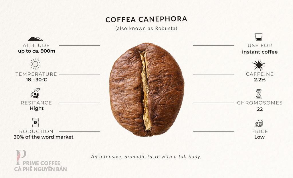Robusta - Sự khác biệt giữa cà phê Arabica và Robusta  PrimeCoffee (2)