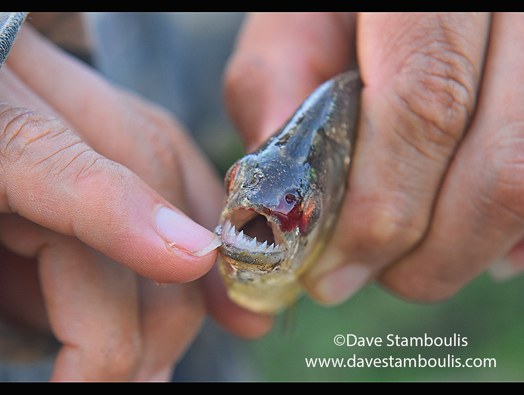 The sharp teeth of a Yellow-Bellied Piranha on Lake Tres Chimbadas, Tambopata River, Peruvian Amazon