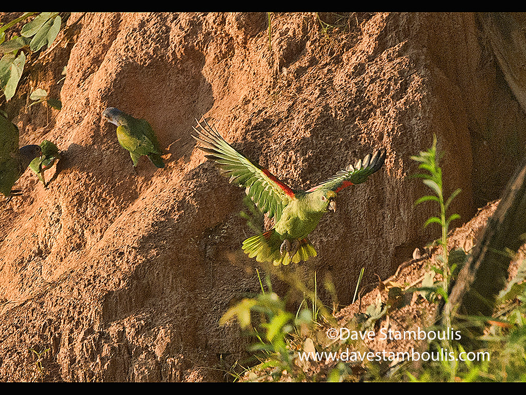 Blue-headed and yellow-crowned parrots feeding at a clay lick, Tambopata River, Peruvian Amazon