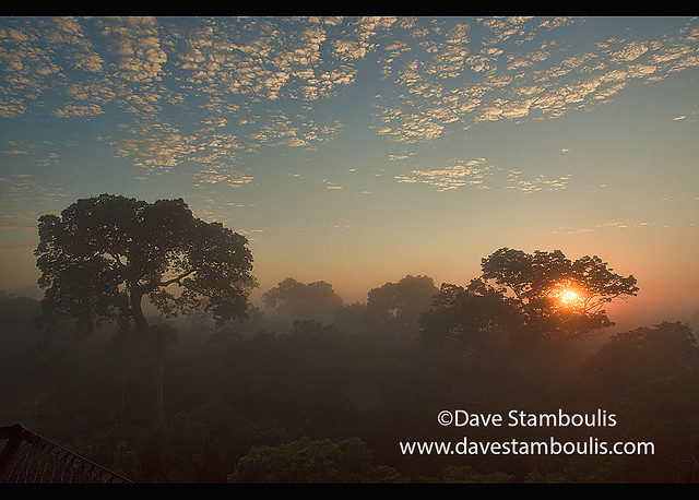 Huge Brazil nut tree and jungle canopy at sunrise, Tambopata River Reserve, Peruvian Amazon