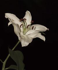 White Lily AG504030 copy