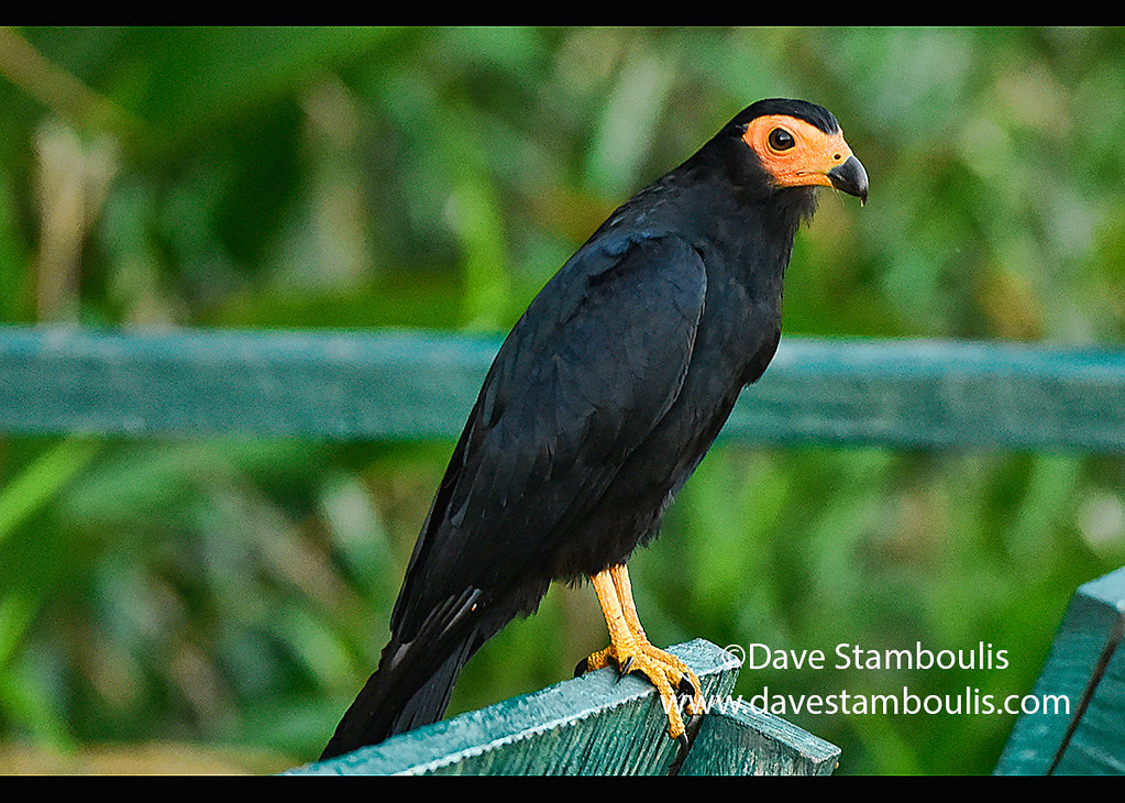 Black caracara on Lake Chimbadas, Tambopata River Reserve, Peruvian Amazon
