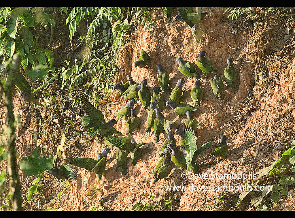 Blue-headed parrots feeding at a clay lick, Tambopata River, Peruvian Amazon