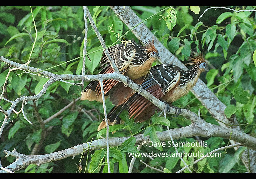 Hoatzin birds on Lake Tres Chimbadas, Tambopata River, Peruvian Amazon