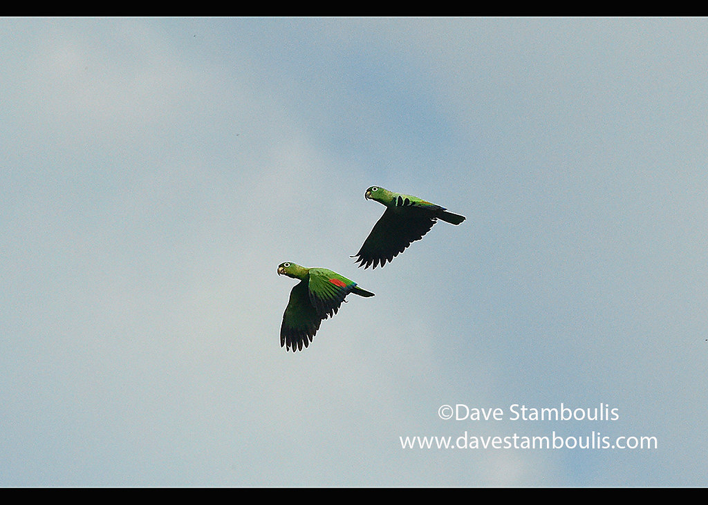 Mealy parrots (Amazona farinosa) in flight, Tambopata River, Peruvian Amazon