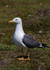 Lesser black-backed Gull ( Larus fuscus )