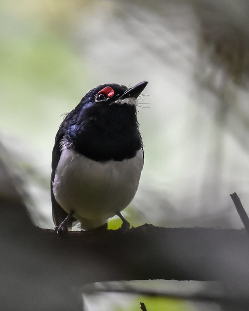 Black-throated Wattle-eye ♂