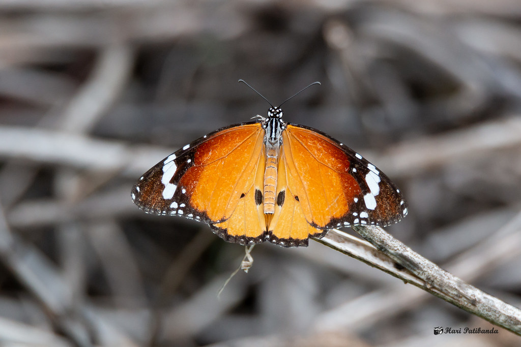 A Plain Tiger Butterfly In its Full Glory