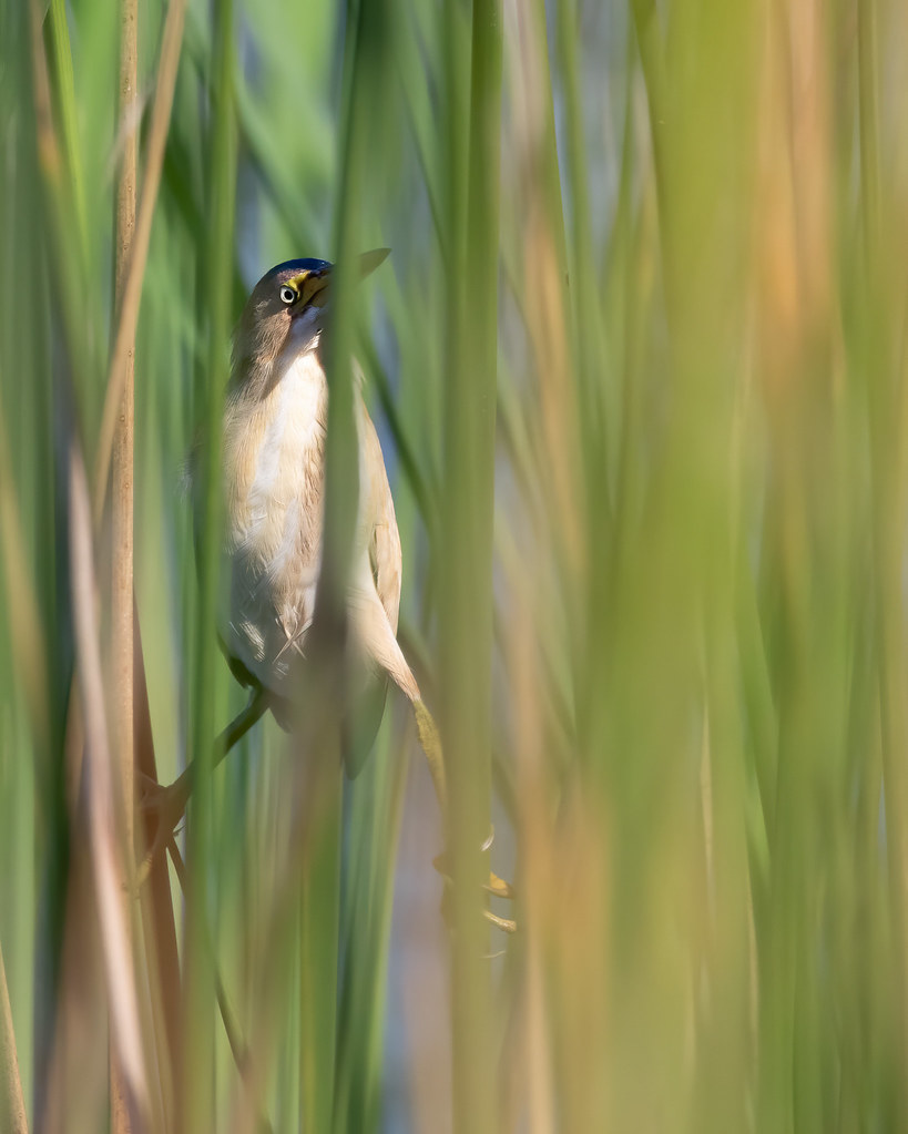 Typical Look at a Least Bittern
