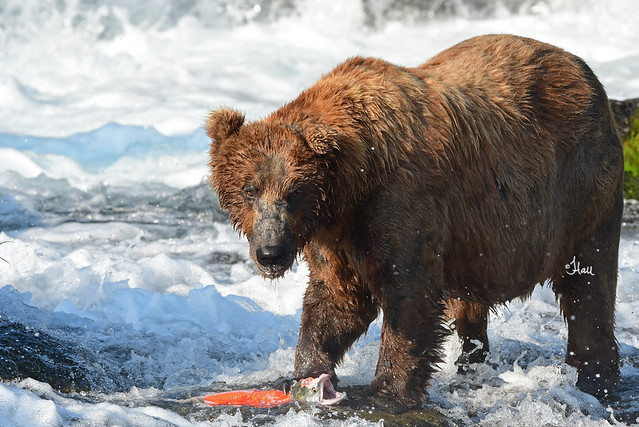 Brown Bear with Salmon - 1224b+