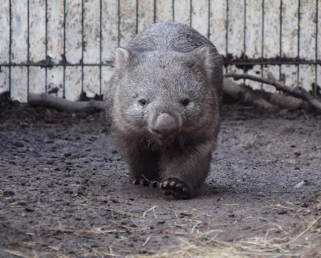Wombat, CPH Zoo