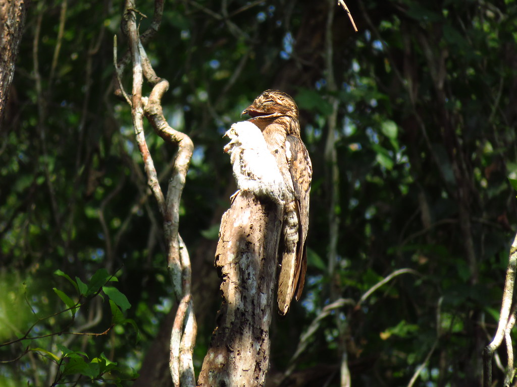 Common Potoo and baby