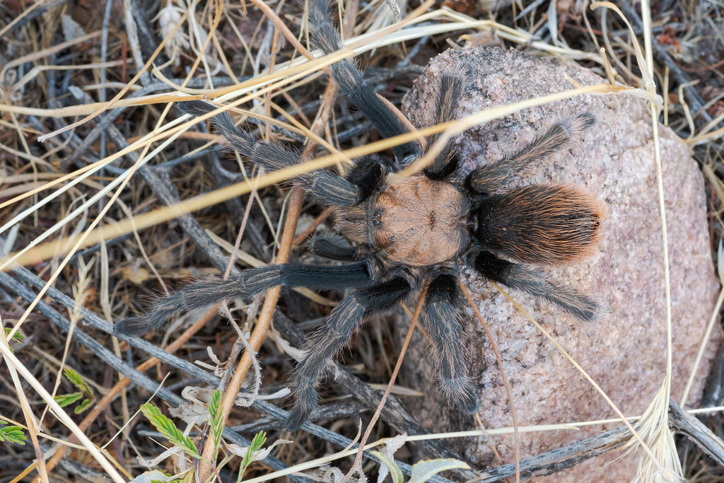 An overhead view of a male (I think) desert tarantula as he sits on grasses and a rock beside the Latigo Trail in McDowell Sonoran Preserve in Scottsdale, Arizona in August 2019