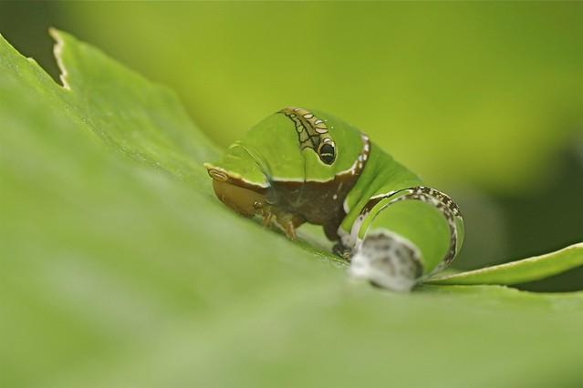 Checkered Swallowtail Butterfly Catterpillar