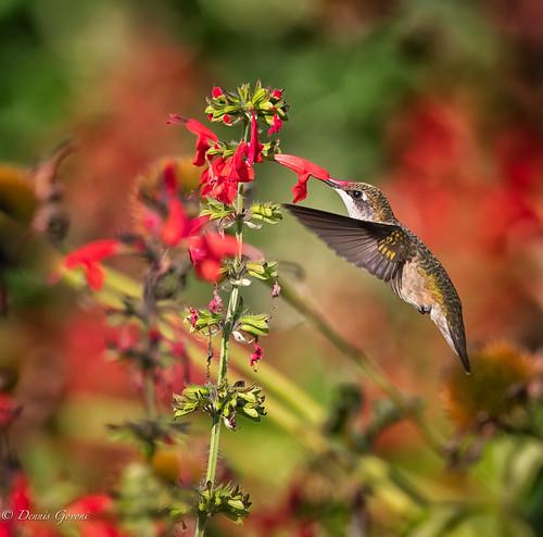 flower virginia virginiaarboretum action bird flight hummingbird rubythroated sunrise wildlife whitepost unitedstatesofamerica