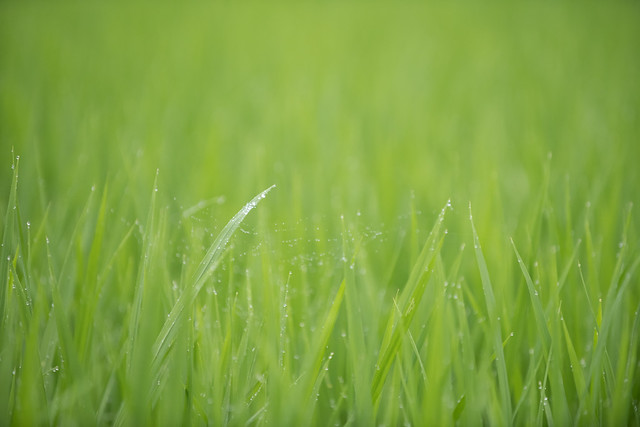 20190709 Yotsuya Terraced Rice Paddy 14