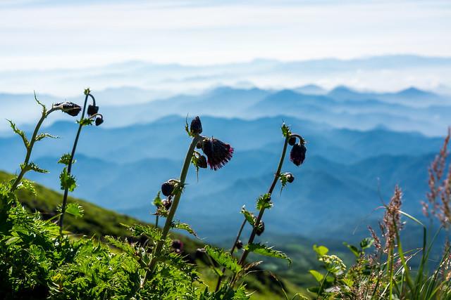外輪山に咲くチョウカイアザミ