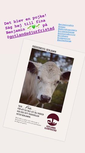 it's a boy! benjamin, my sponsored bull at animal sanctuary gotlands djurfristad 💚💚💚, august 2019