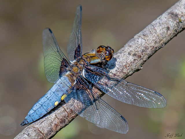 DSC9051 Broad Bodied Chaser...