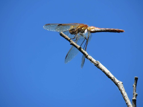 Dragonflies, damselflies in southwest Oregon