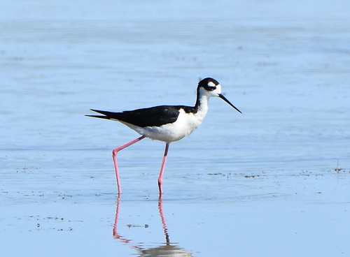 Black-necked Stilt 7-30-19