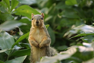 59/366/4076 (August 9, 2019) - Fox Squirrels on a Beautiful Summer Day at the University of Michigan - August 9th, 2019