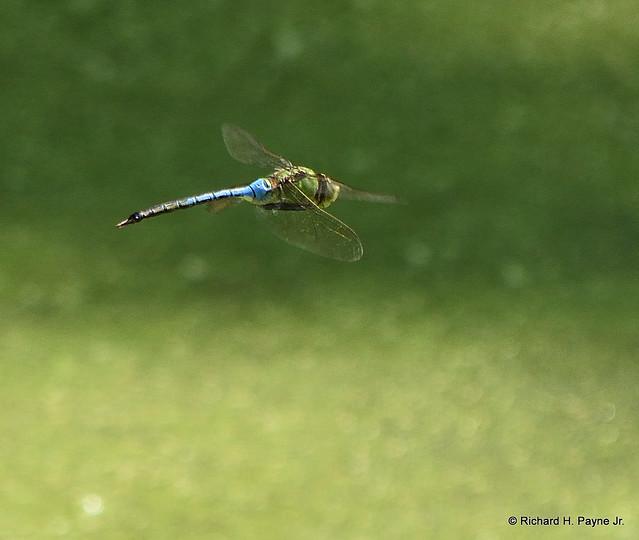 Male Common Green Darner_6470_00001-001