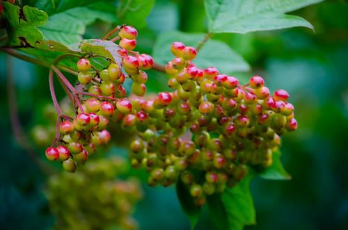 Bunch of vibernum berries, beginning to ripen