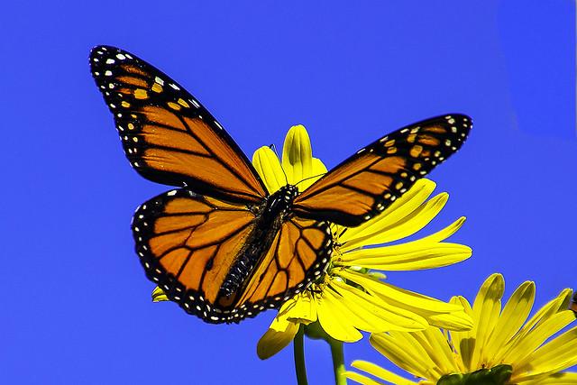 Monarch Butterfly (Danaus plexippus) on a Cup Plant (Silphium perfoliatum)