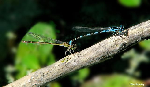 Blue Tule Damselflies Mating