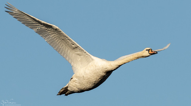 Mute Swan On The Wing