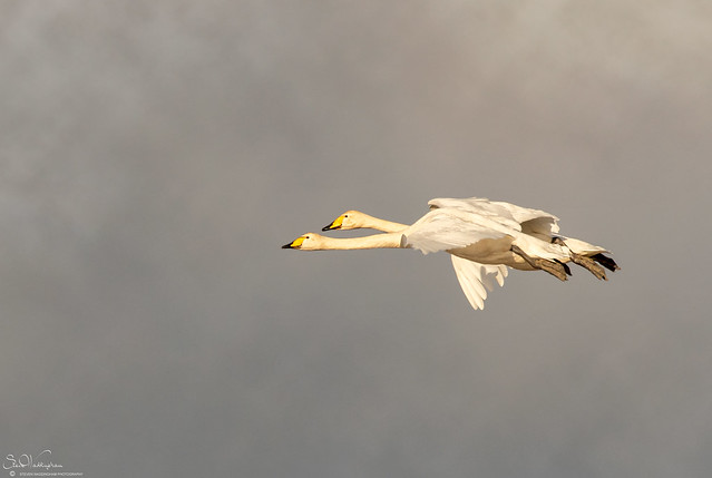 Incoming Whooper Swans