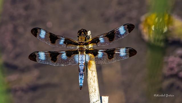 Libellule - Odonates - Dragon-Fly