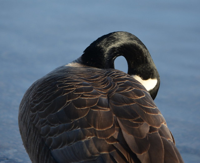 Canada goose from behind.