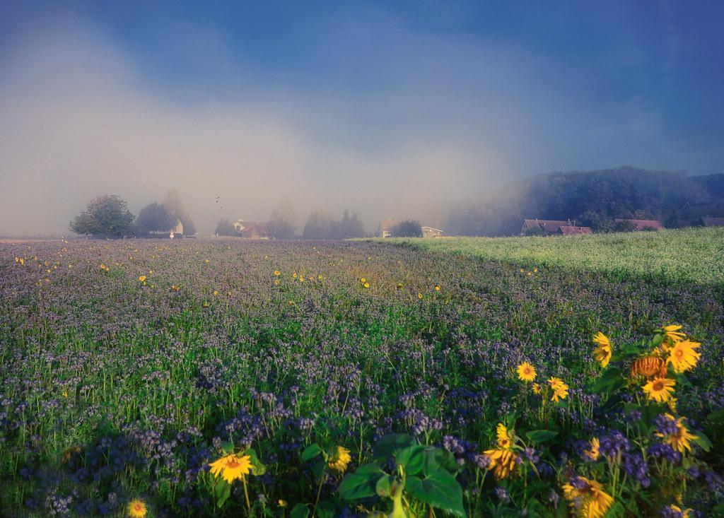 Field of flowers in foggy landscape