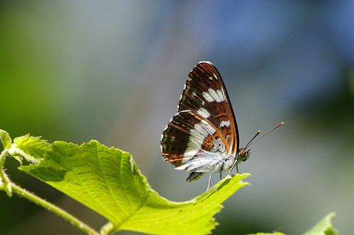 cambridgeshire limenitiscamilla monkswood butterfly insect nature whiteadmiral wild wildlife