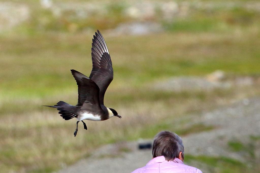 Schmarotzerraubmöwe verteidigt ihre Brut mitten in Lonyearbyen