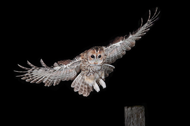 Tawny Owl incoming! (Explored)
