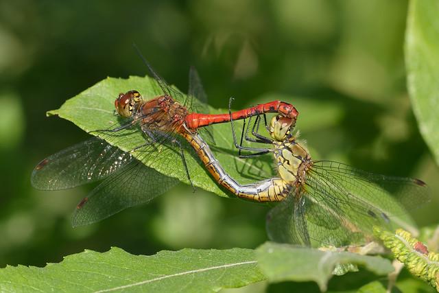 Ruddy Darter (Sympetrum sanguineum) Blodröd ängstrollslända