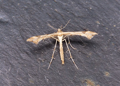 45.004 Triangle Plume - Platyptilia gonodactyla