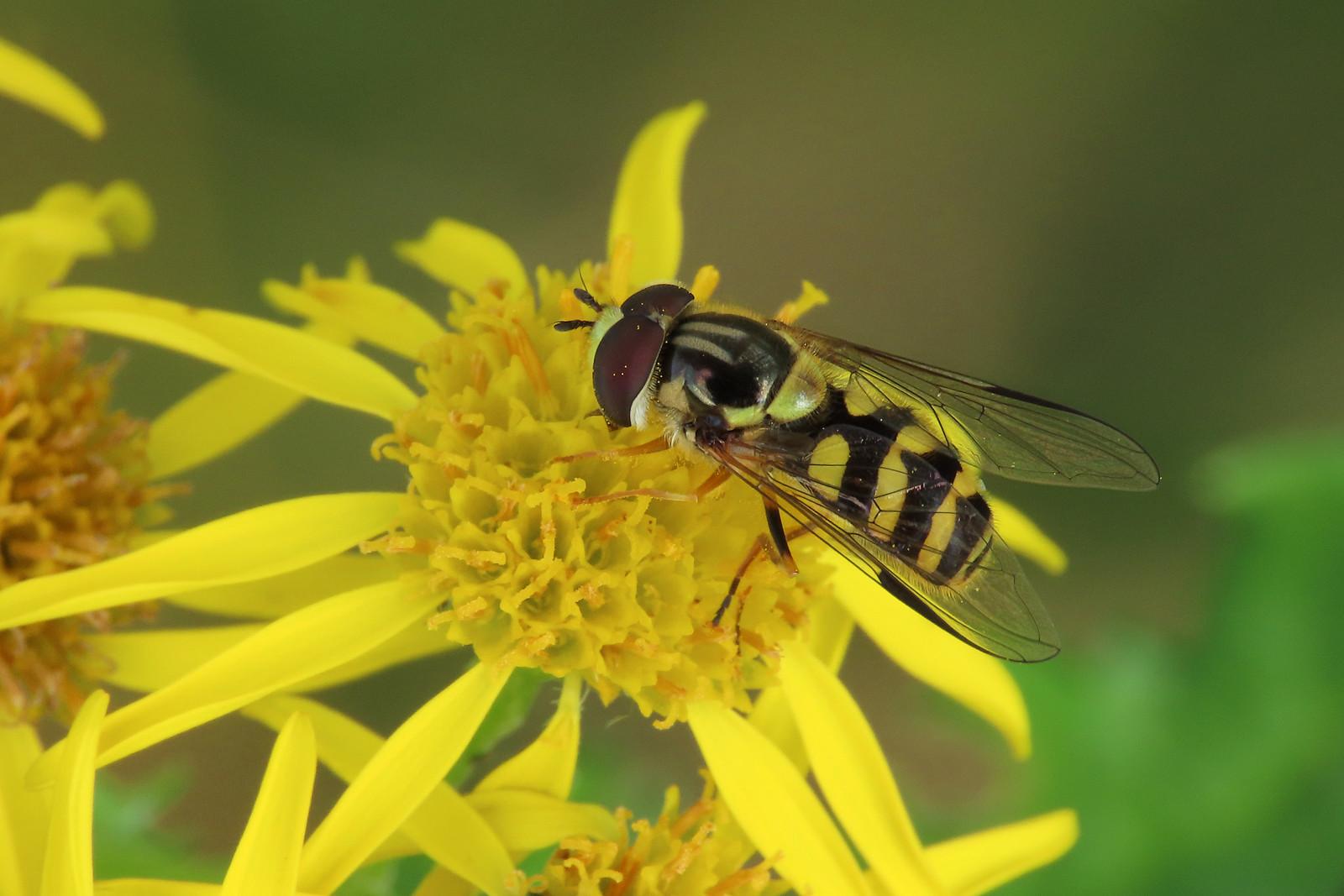 Dasysyrphus albostriatus