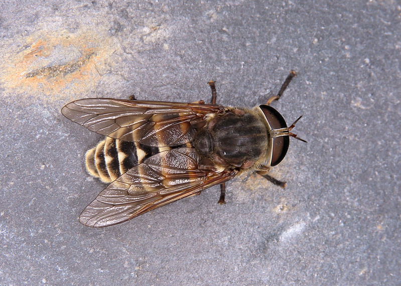 Dark Giant Horsefly - Tabanus sudeticus