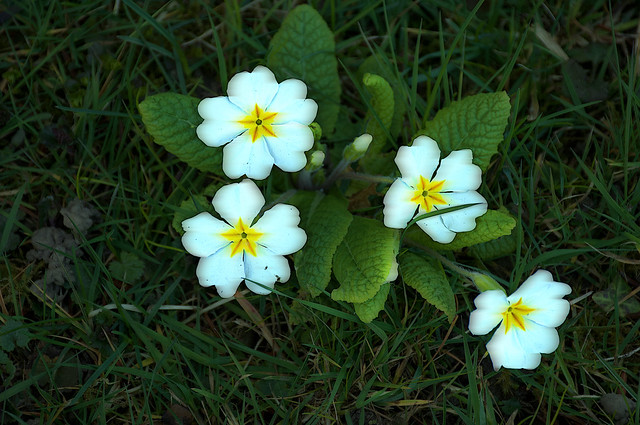 Just a Primula