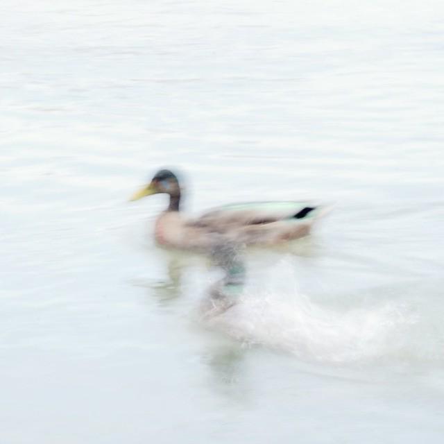Ducks III ( HK & ICM )