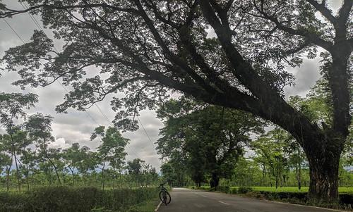 cycling menglas road teagarden tree trekmarlin6