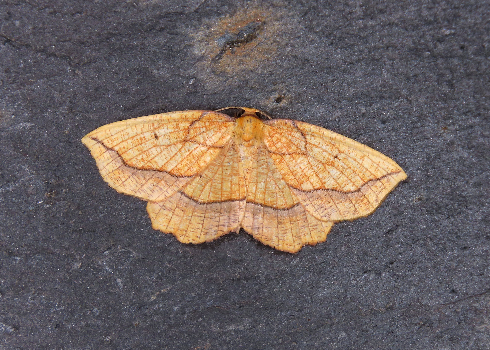 70.227 Bordered Beauty - Epione repandaria